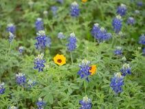 Sola margarita en campo azul del capo Imagenes de archivo