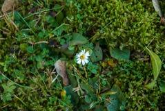Sola margarita rodeada por la hierba y el musgo Imagenes de archivo