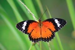 Sola mariposa Foto de archivo
