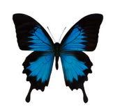 Sola mariposa azul brillante Imagen de archivo