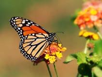 Sola mariposa de monarca Imagen de archivo libre de regalías