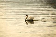 Sola natación del cisne Imagenes de archivo