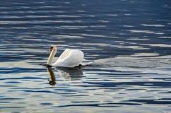 Sola natación del cisne Imagen de archivo libre de regalías