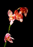 Sola orquídea rosada fotografía de archivo libre de regalías