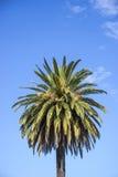 Sola palma de coco contra un cielo azul Fotos de archivo libres de regalías