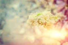 Sola pequeña rama del manzano floreciente en backgrou borroso Fotos de archivo libres de regalías
