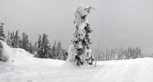 Sola picea en bosque del abeto del fondo en invierno foto de archivo libre de regalías