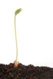 Sola planta de semillero de la haba Imágenes de archivo libres de regalías