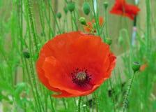 Sola Poppy Head Fotos de archivo libres de regalías