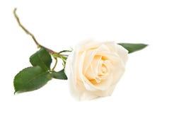 Sola rosa del blanco Imagen de archivo