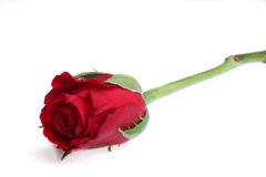 Sola rosa del rojo imagenes de archivo