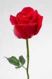 Sola rosa del rojo en el fondo blanco Fotos de archivo