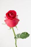 Sola rosa del rojo en el fondo blanco Imágenes de archivo libres de regalías