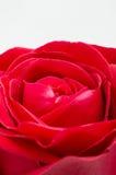 Sola rosa del rojo en el fondo blanco Foto de archivo libre de regalías