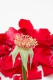 Sola rosa del rojo en el fondo blanco Imagen de archivo libre de regalías