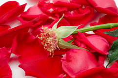 Sola rosa del rojo en el fondo blanco Fotos de archivo libres de regalías