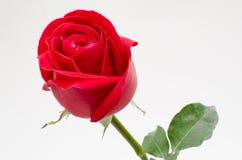 Sola rosa del rojo en el fondo blanco Fotografía de archivo libre de regalías