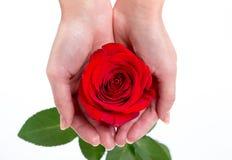 Sola rosa del rojo en la mano de una mujer en el fondo blanco Imagen de archivo libre de regalías