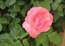 Sola rosa del rosa con una profundidad del campo baja Foto de archivo libre de regalías