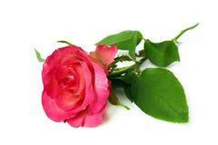 Sola rosa del rosa en el fondo blanco imagen de archivo libre de regalías