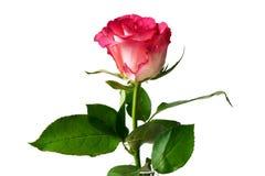 Sola rosa del rosa en el fondo blanco fotos de archivo