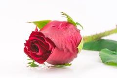 Sola rosa hermosa del rojo Fotografía de archivo