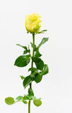 Sola Rose amarilla Foto de archivo libre de regalías