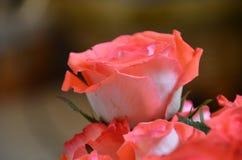 Sola Rose Closeup Imagenes de archivo