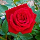 Sola Rose roja Fotos de archivo libres de regalías