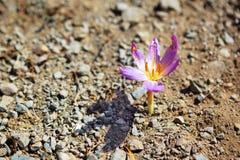 Sola supervivencia de la flor del azafrán en tierra pedregosa sin agua Imagenes de archivo