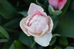 Sola Tulip Close Up de lujo Foto de archivo libre de regalías