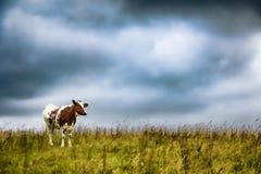 Sola vaca contra las nubes de tormenta Fotografía de archivo