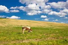 Sola vaca en naturaleza verde Imagen de archivo