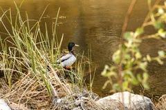 Solamente pato del pato silvestre en el riverbank fotos de archivo libres de regalías