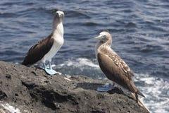 Solan goose (Sula nebouxii) Royalty Free Stock Photos