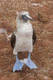 Solan goose (Sula nebouxii) Stock Image