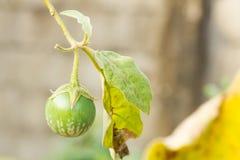 Solanaceae royalty-vrije stock afbeeldingen