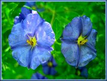 Solanaceae blue flower macro background and wallpaper fine art prints royalty free stock photos