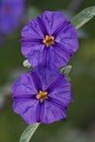 Solanaceaeblume Lizenzfreie Stockfotos