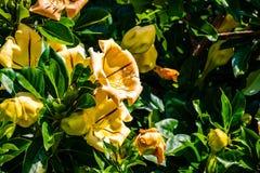 Solandra maksimumy, także znać jako filiżanka złoto winograd, złoty chalice winograd lub Hawajska leluja, balboa park, San Diego, zdjęcia royalty free