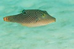 Solandri van Canthigaster - Overzees Andaman Royalty-vrije Stock Afbeeldingen