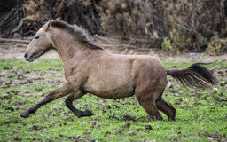 Solankowa Rzeczna dzikiego konia błotnista ucieczka Fotografia Royalty Free
