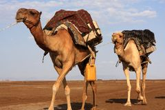 Solankowi wielbłądy ludzie Daleko Danakil depresja, Etiopia, Afryka Wschodnia Obraz Royalty Free