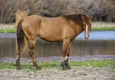 Solankowy Rzeczny dzikiego konia portret Zdjęcia Royalty Free