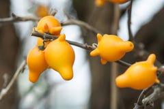 Solanum εγκαταστάσεις mammosum Στοκ Εικόνες