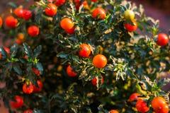 Solanum εικόνα κινηματογραφήσεων σε πρώτο πλάνο μούρων pseudocapsicum Στοκ Εικόνες