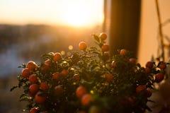 Solanum εικόνα κινηματογραφήσεων σε πρώτο πλάνο μούρων pseudocapsicum Στοκ Φωτογραφία