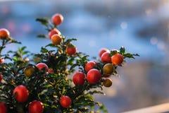 Solanum εικόνα κινηματογραφήσεων σε πρώτο πλάνο μούρων pseudocapsicum Στοκ φωτογραφίες με δικαίωμα ελεύθερης χρήσης