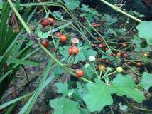 Solanum εικόνες στοκ φωτογραφίες με δικαίωμα ελεύθερης χρήσης