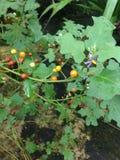 Solanum εικόνες στοκ εικόνα